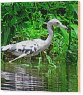 The Little Blue Heron Wood Print