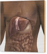 The Liver And Digestive System Wood Print