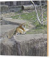 The Lounging Tiger 1 Wood Print