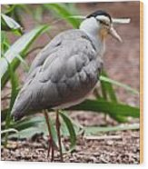 The Masked Lapwing Vanellus Miles Previously Known As The Mask Wood Print