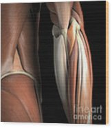 The Muscles Of The Elbow Rear Wood Print