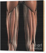 The Muscles Of The Upper Legs Rear Wood Print