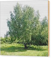 The Old Birch Tree Wood Print