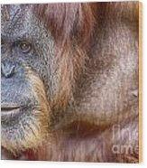 The Orangutan Album  Wood Print