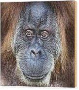The Orangutan Album V4 Wood Print