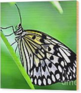 The Paper Kite Or Rice Paper Or Large Tree Nymph Butterfly Also Known As Idea Leuconoe Wood Print