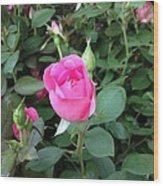 The Perfect Pink Rose 2 Wood Print
