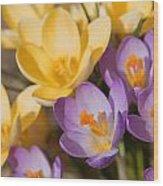 The Purple And Yellow Crocus Flowers Wood Print