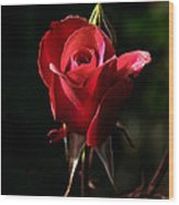 The Red Rode Bud Wood Print by Robert Bales