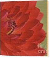The Red Sun Dahlia Wood Print