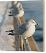 The Ring-billed Gull Wood Print