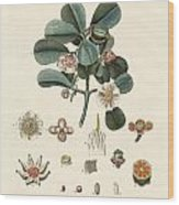 The Rose Coloured Clusia Wood Print
