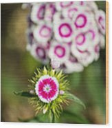 The Star - Beautiful Spring Dianthus Flowers In Bloom. Wood Print