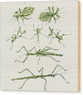The Stick Insect Wood Print