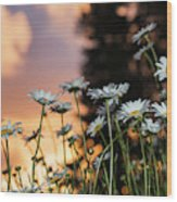 The Sun Sets Over Daisies  Astoria Wood Print
