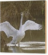 The Swan Spreads Its Wimgs Wood Print