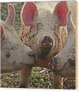 The Three Little Pigs Wood Print