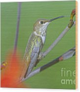 The Tongue Of A Humming Bird  Wood Print