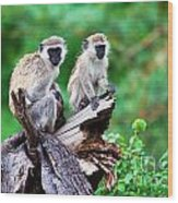The Vervet Monkey. Lake Manyara. Tanzania. Africa Wood Print