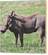 The Warthog On Savannah In The Ngorongoro Crater. Tanzania Wood Print
