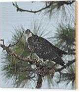 The Wild Osprey Wood Print