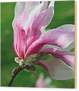 The Windblown Pink Magnolia 1 - Flora - Tree - Spring - Garden Wood Print