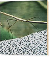The Wonderful Walkingstick Wood Print