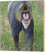 The World's Largest Species Of Monkey The Mandrill  Wood Print