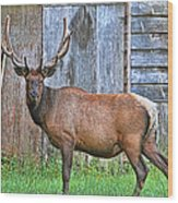 There's An Elk By The Barn Wood Print
