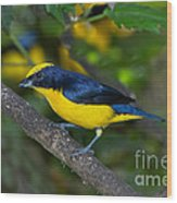 Thick-billed Euphonia Wood Print