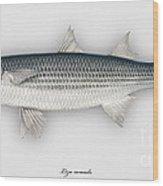 Thinlip Mullet Liza Ramada - Mulet - Morragute - Cefalo - Tainha Tunnlaeppad Multe - Roendungur Wood Print
