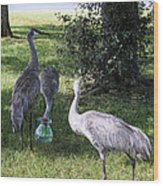 Thirsty Cranes Wood Print