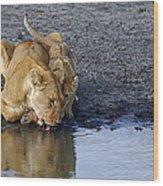 Thirsty Lions Wood Print