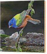 Thirsty Painted Bunting Wood Print