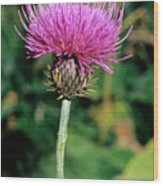 Thistle (carduus Carlinaefolius) Wood Print