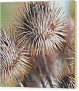 Thistle Seedheads Wood Print