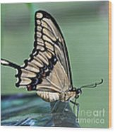 Thoas Swallowtail Butterfly Wood Print