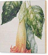 Thorn Apple Flower From Ecuador Datura Rosei Wood Print