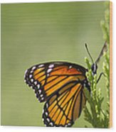 Those Magnificent Monarchs - Danaus Plexippus Wood Print