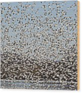 Thousands Of Snow Geese Wood Print