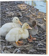 Three Baby Ducks Wood Print