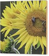 Three Bees On A Sunflower Wood Print