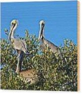 Three Brown Pelicans Wood Print