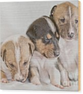 Three Collie Puppies Wood Print