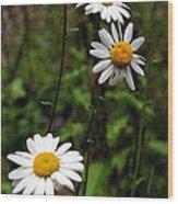 Three Daisies Wood Print