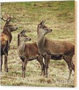 Wildlife Three Red Deer Wood Print