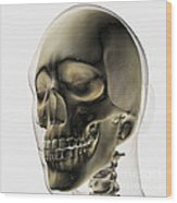Three Dimensional View Of Human Skull Wood Print by Stocktrek Images