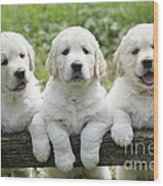 Three Golden Retriever Puppies Wood Print