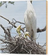 Three Great Egret Chicks In Nest Wood Print by Carol Groenen