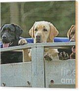 Three Kinds Of Labradors Wood Print